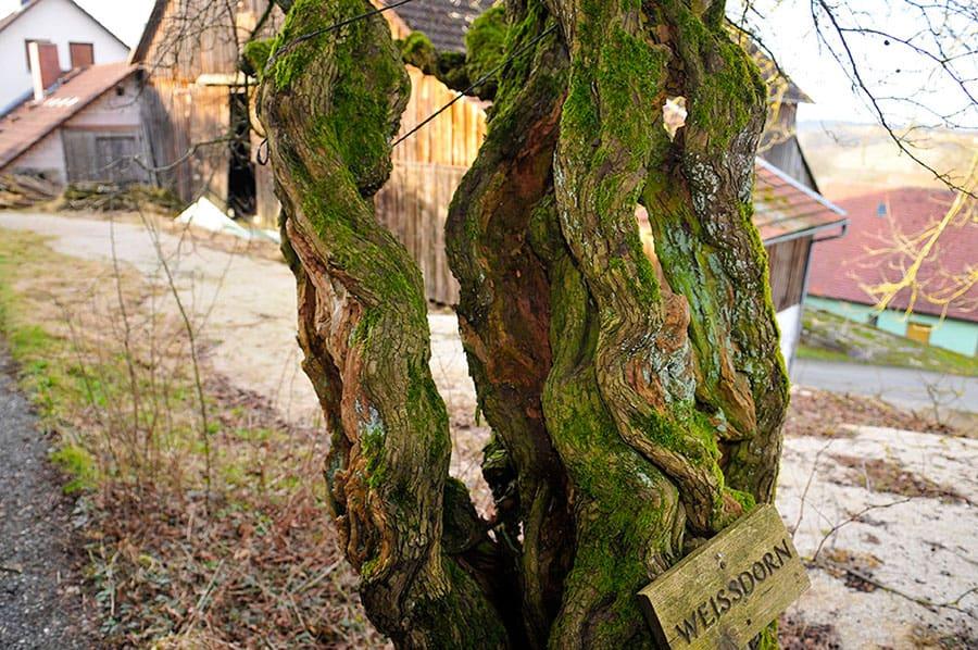 1000 jähriger Weißdorn in Wohnsgehaig